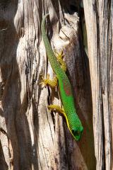 Madagascar Lizard