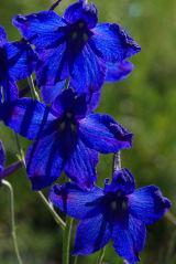 Mongolia Blue Flowers