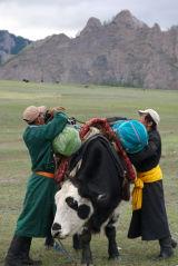 Mongolia Loading a Yak