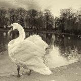 Broomfield Swan