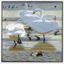Whooper swans £95 unframed