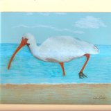 A Great Ibis