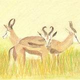 Thompson Gazelles