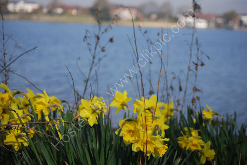 Daffodils on the edge of the Lake