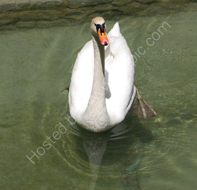 Swan at Annecy