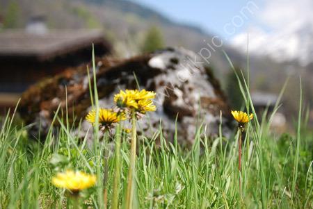 Dandelions in the Alps