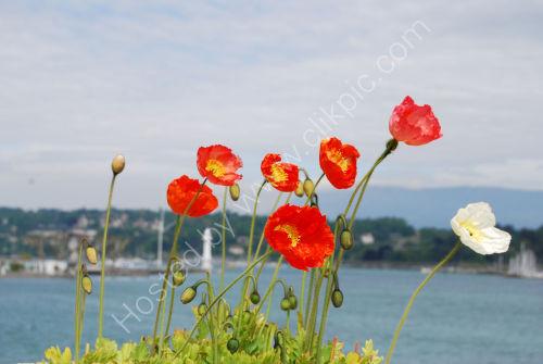 Poppies lakeside