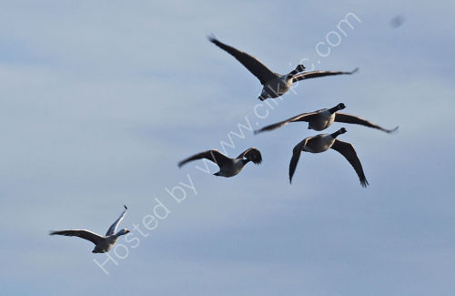 Passing Geese .......