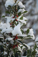 Snow on Holly bush