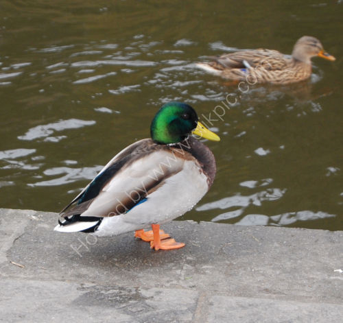Ducks at Saltaire