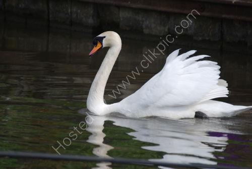 Swan at Silsden