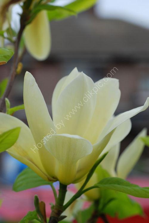 Magnolia flowering