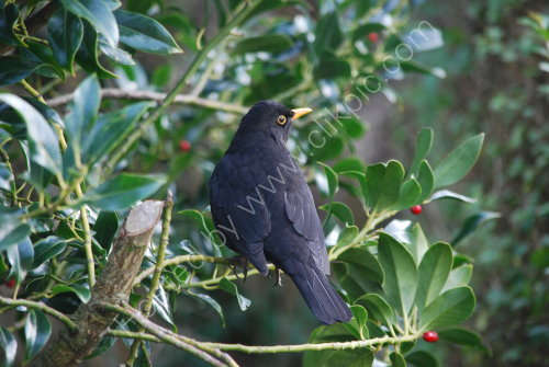 Blackbird on the Holly bush