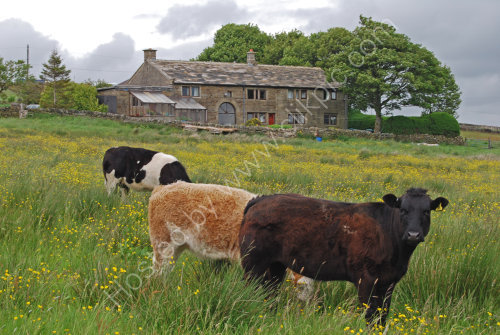 Grazing on the Pennines .....