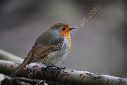 A Red, Red Robin