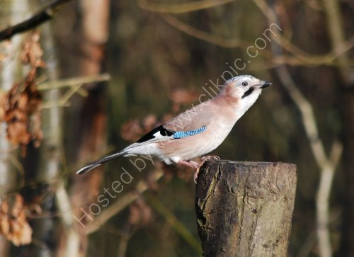 A Jay at Cromwell Bottom
