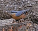 A Nuthatch feeding