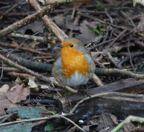 A Robin amongst the leaves etc