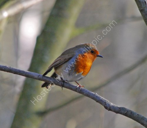 A Robin at Cromwell Bottom feeding station