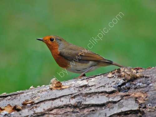 A Robin at Cromwell Bottom