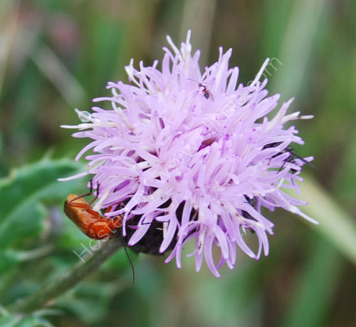 Insects on Thistle flower