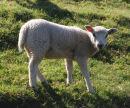 Curious lamb ?