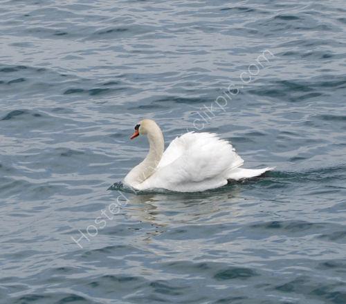 A Swan on Lake Geneva