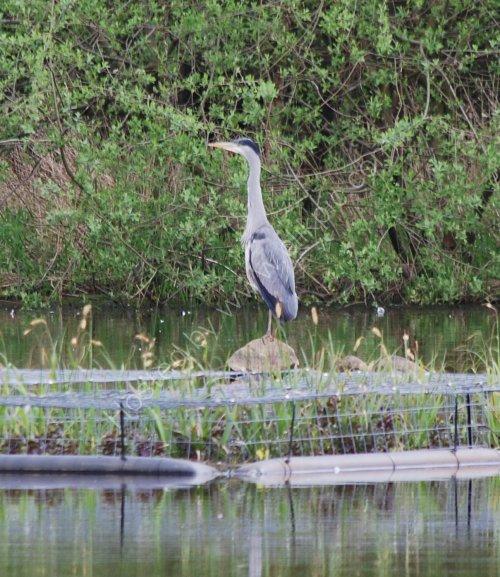 A Heron at Hollingworth Lake