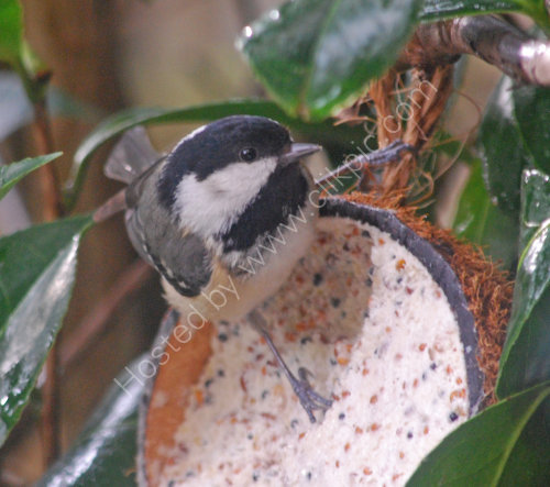 A Great Tit feeding on the Camelia