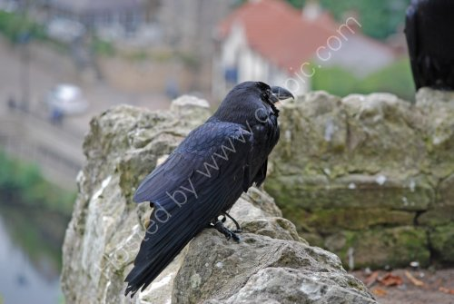 Knaresborough Castle Raven