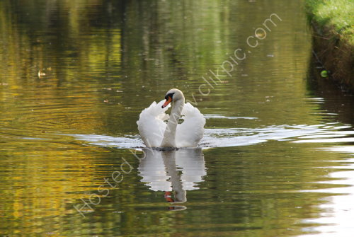 Swan on autumnal reflections