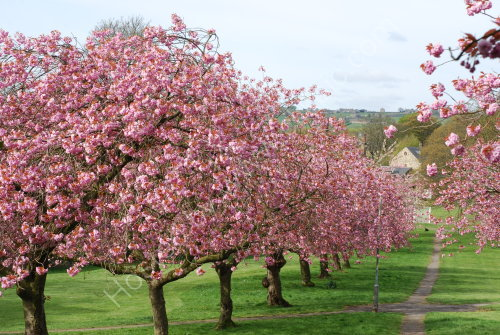 Cherry Blossom in The Stray
