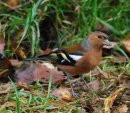 A wary Chaffinch