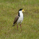 Spur winged Plover.