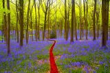 Remember Bluebell Woods - by Chris Greenwood (England)