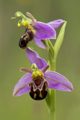 Bee Orchid 1