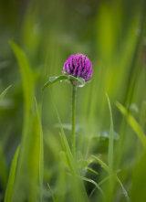 Clover in grass