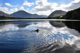 Bramble Swimming at Loweswater