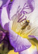 Hoverfly taking Fuscia pollen