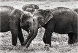 Teenage elephants Play-fighting