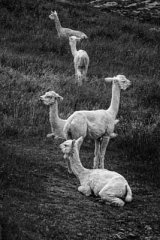 The Naked Alpacas