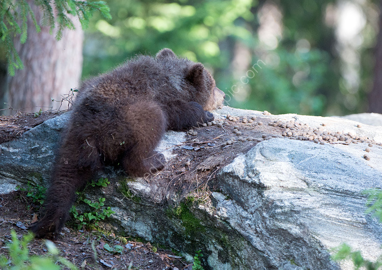 Baby brown bear asleep