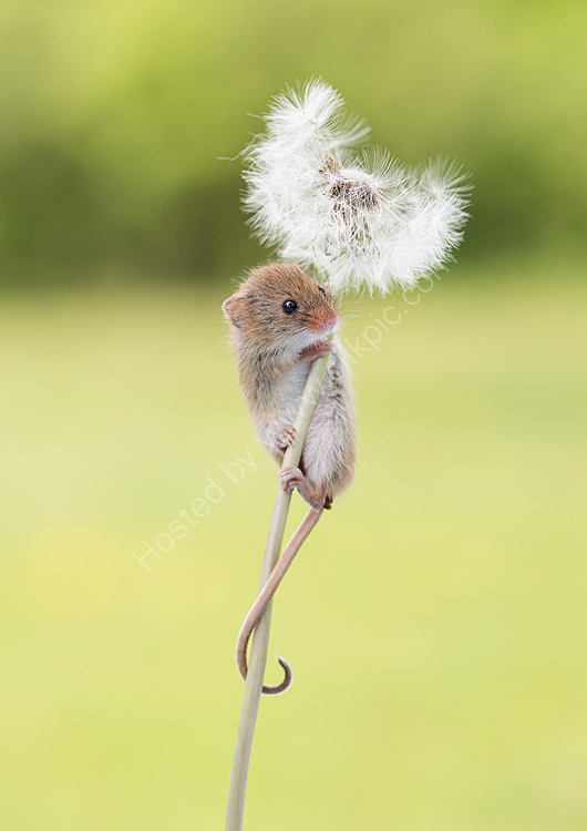Baby harvest mouse