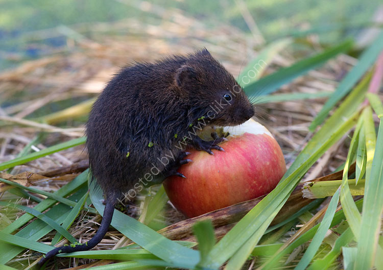 Baby water vole