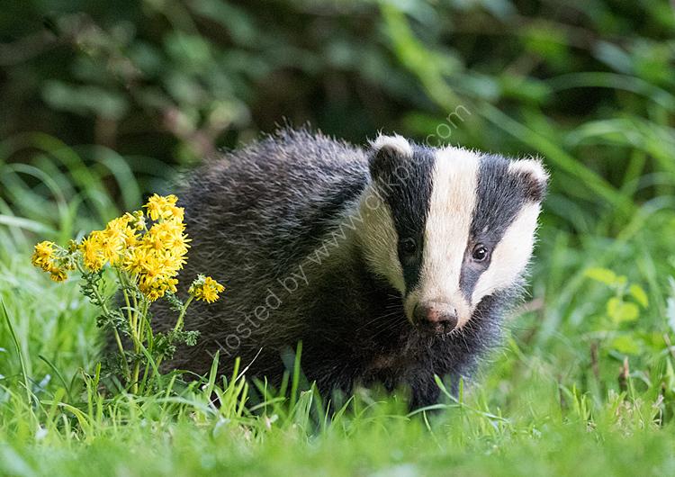 Badger in grass