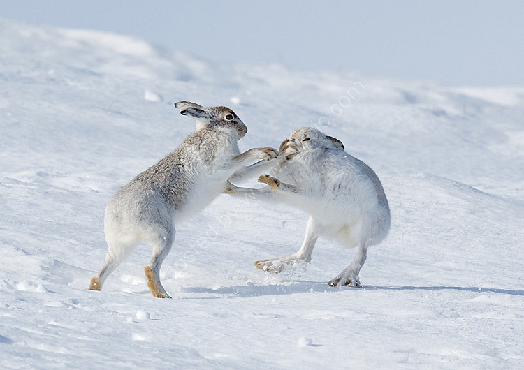 Boxing mountain hares 2