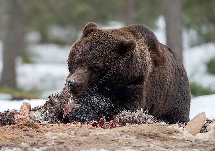 Brown bear feeding