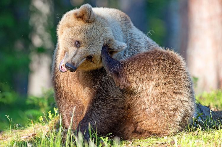 Brown bear scratching