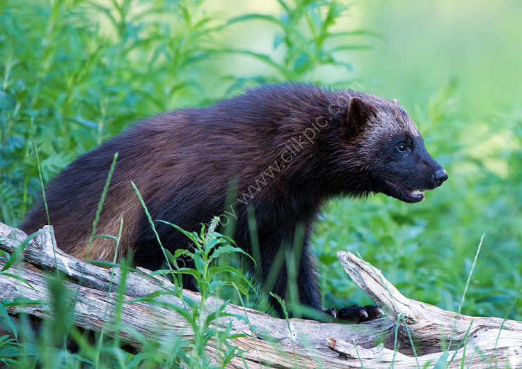 Close-up of wolverine