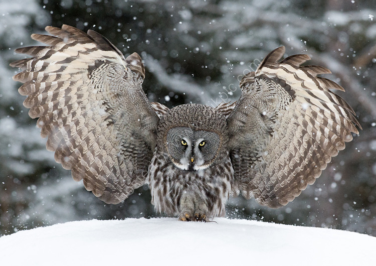 Close up Great grey owl